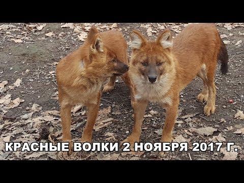 КРАСНЫЕ ВОЛКИ 2 НОЯБРЯ 2017 Г.