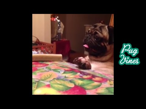 Funny Pug Vines of  2014 Part 1