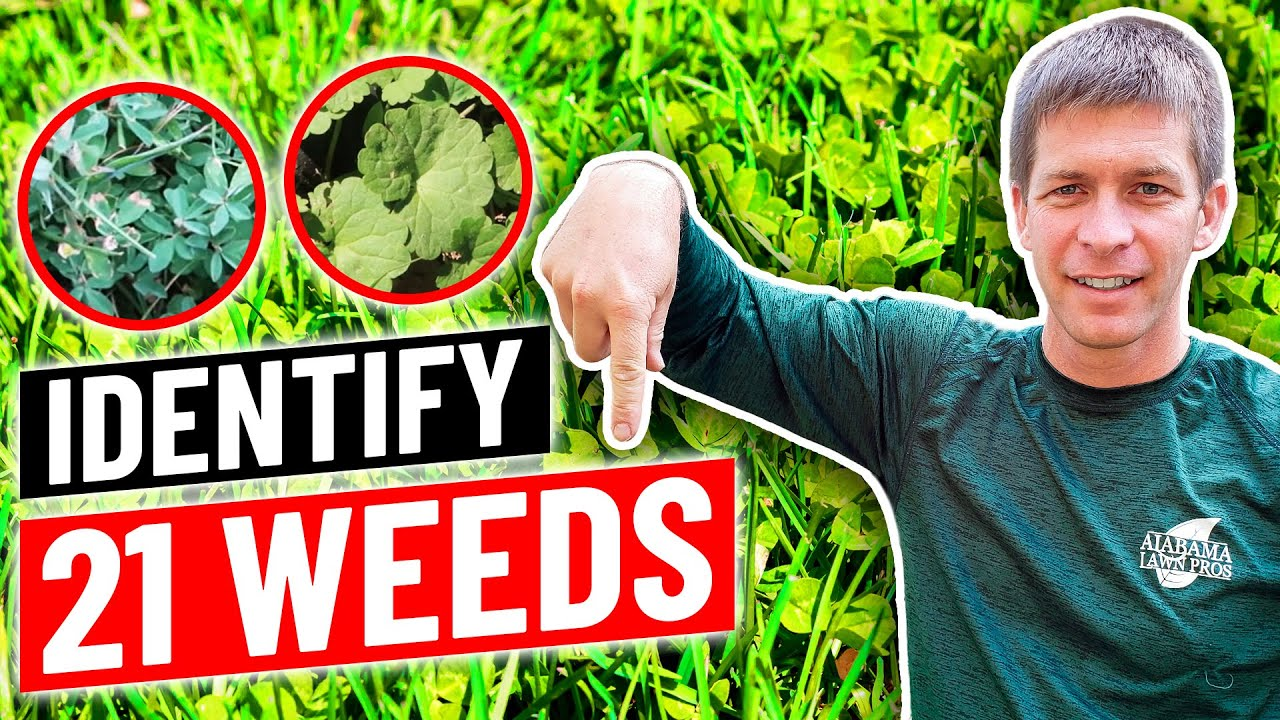 Identify 21 Common Weeds In Lawn