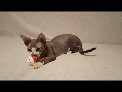 Armando - boy breed Devon rex!
