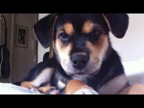 Kira, my 8/9 weeks old rottweiler/husky mix