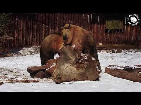 Такины весной в Московском зоопарке