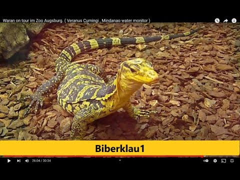 Waran on tour.  Zoo Augsburg  ( Veranus Cumingi  , Mindanao water monitor  )