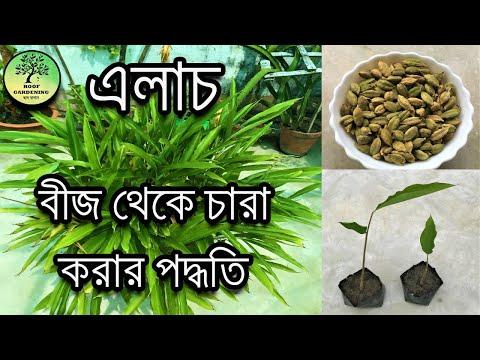 বাড়িতে রান্না করার এলাচ থেকেই চারা করার পদ্ধতি / How to grow cardamom from seeds / Queen of Spices
