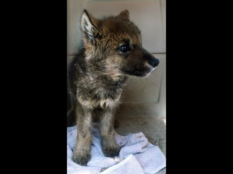 Before You Buy A Wolf-dog Puppy