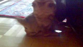 Shar Pei Dogs Fighting