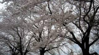 飾りけない桜の里に出会う