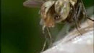 Triclops! Love Song For The Botfly