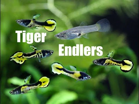 Endler's Livebearer (Tiger Endler, K Class)
