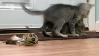 Введение в кошковедение.   Котята.  Часть 2. Развитие котят.