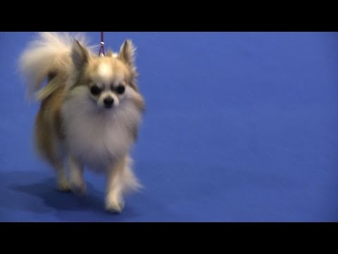Manchester Championship Dog Show 2015 - Toy group