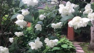 видео Декоративные кустарники для Урала: фото и названия, описание