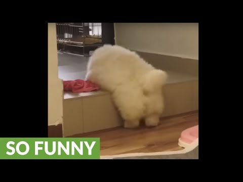 Fluffy chow chow puppy conquers high step