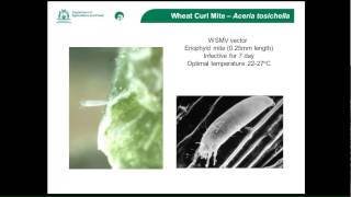 Wheat Streak Mosaic Virus Update