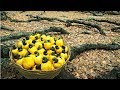 How Cashew Nut Farming and Processing - Cashew Cultivation Asian Technology