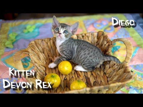 Кудрявый котенок породы Девон Рекс. Диего.