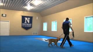 Ringo (golden Retriever Puppy) Boot Camp Training Minneapolis