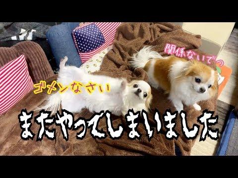 【チワワの猛省】涙目で反省する子犬と何もしてないのに釣られるシニア犬チワワ