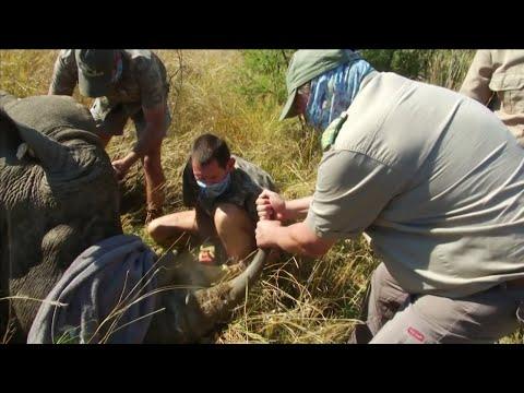 Rhinos' Horns Cut