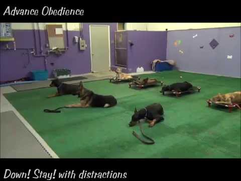 The K9 Training Academy Advance Obedience Dog Training