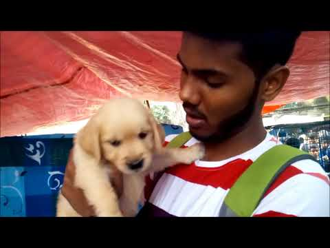 Finally Young Man Gets His Favourite Golden  Retriever Puppy At Galiff Street
