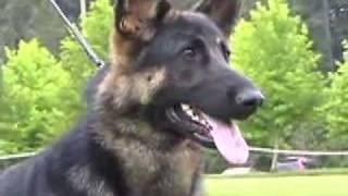 German Shepherd Dog Specialty Show Stacking And Judging
