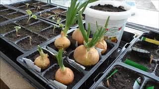 Выращивание зелени зимой на балконе - редис,укроп, петрушка, салат, шпинат, лук