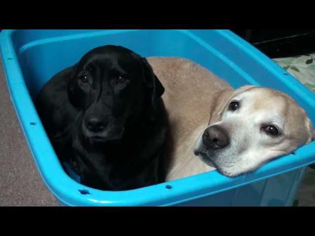 ラブラドール ムックとラム 「犬たらい」