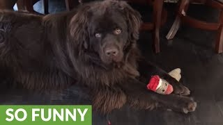 Newfoundland utterly annoyed by his owner