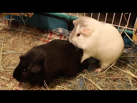 Guinea Pig's Humping Spree Continues