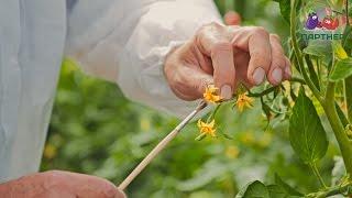 Опыление томатов(Иногда бывает, что томаты хорошо цветут, но опыления не происходит. Так случается из-за жары. При температур..., 2016-10-07T08:45:39.000Z)