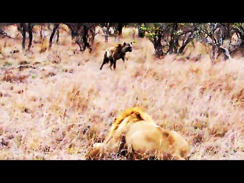Spotted Hyena Walks Straight Into Male Lion - Latest Wildlife Sightings