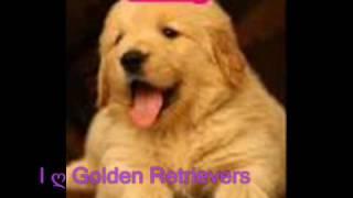Cute Pictures Of Golden Retrievers & Golden Retriever Puppies