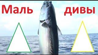 Планета рыбака  - Рыбалка на Мальдивах.(В этом выпуске речь идет о прекрасных Мальдивах, где основным занятием местных жителей является рыбная..., 2014-03-05T08:30:01.000Z)