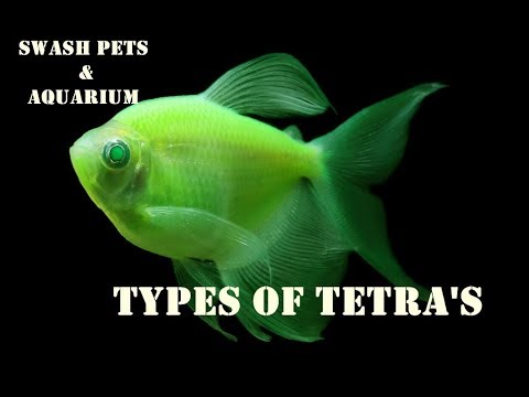 Types Of Tetras | Most Common ColourFul Fishes