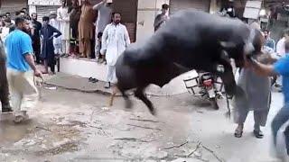 Extremely dangerous Buffalo sacrifice done by Expert Gujjar's  | Eid al-Adha 2020