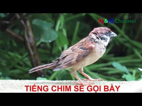 Tiếng Chim Sẻ Gọi Bầy Tiếng Mùa 2018 | VN24Tv Channel