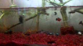 High Fin Dalmatian Mollies, Swordtail And A Wag Tail Platy