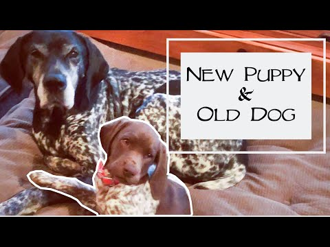 Introduce Your New Puppy To Your Old Dogs - You Ask We Answer