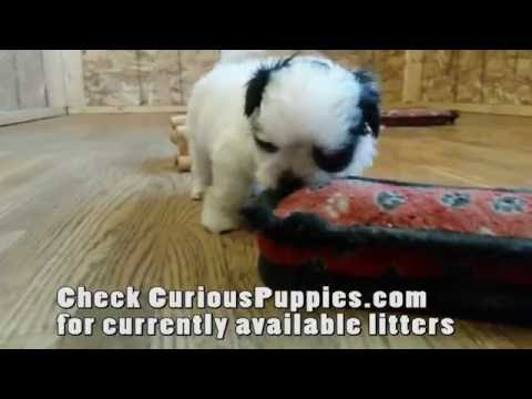 Maltese x Shih-Tzu Puppies For Sale In Ontario (Malshi puppies)