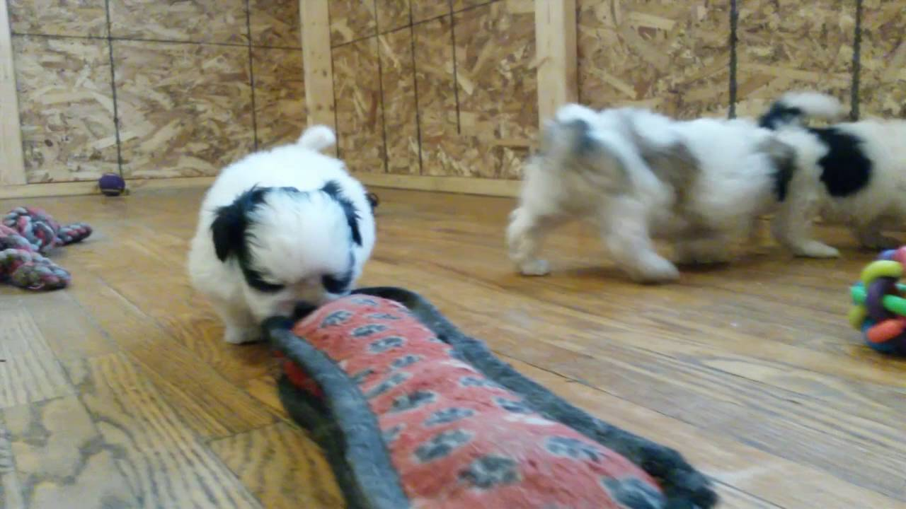 Maltese X Shih Tzu Puppies For Sale In Ontario Malshi Puppies