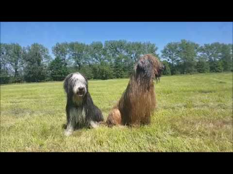 Briard and Bearded collie-Viki and Joy
