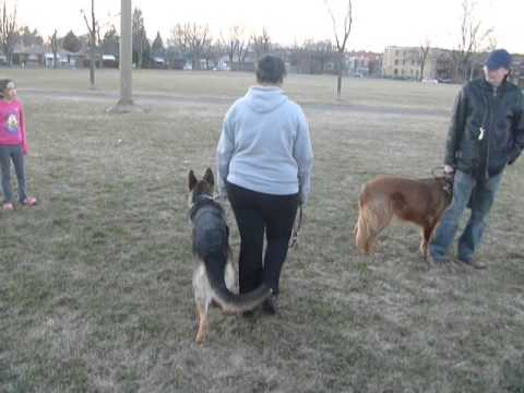 Aggressive german shepard dog on walks