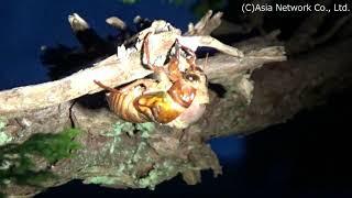 アブラゼミ/Large Brown Cicada/จักจั่น まだ明るい時間だったのですが...