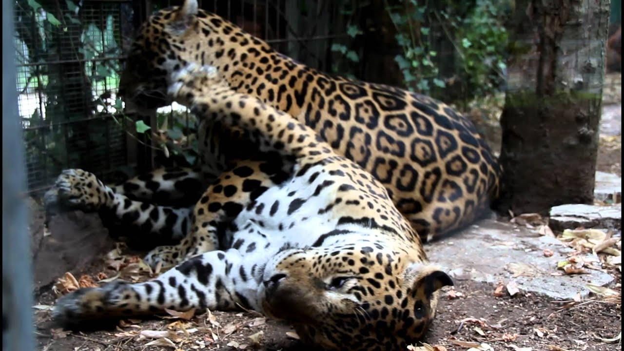 Giaguari Allo Zoo Di Pistoia Youtube