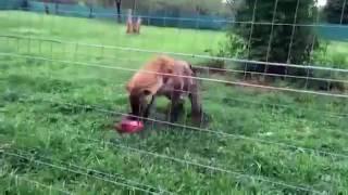 Как смеется гиена