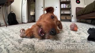 Irish Terrier Puppy  5 Months Old