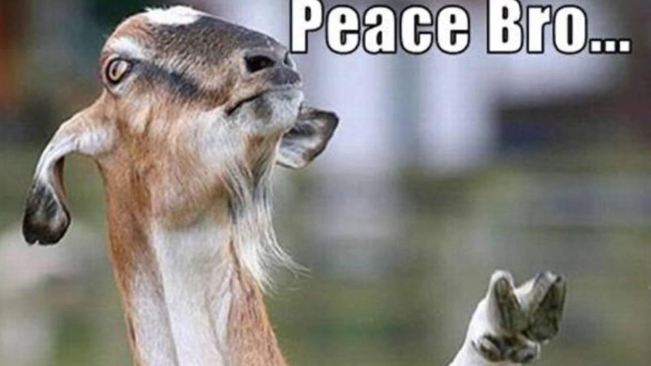 Image result for funny goat