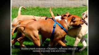 Средние породы собак Американский Стаффордширский терьер