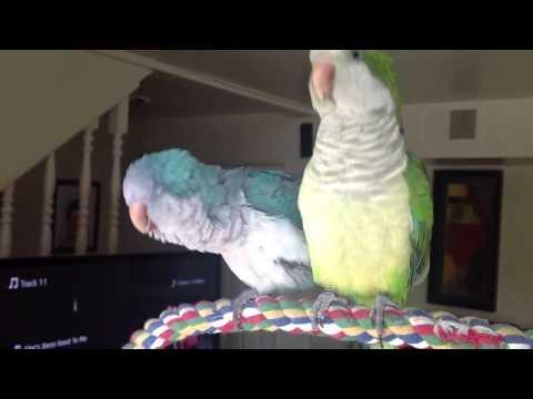 Quaker parrots singing